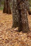 El follaje amarillo caido en el bosque del otoño Foto de archivo libre de regalías