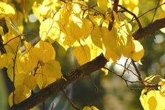 El follaje amarillo enorme del albaricoquero hizo excursionismo por luz del sol suave Tiempo caliente, día soleado, buen humor de Imagenes de archivo