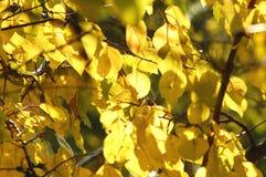 El follaje amarillo enorme del albaricoquero hizo excursionismo por luz del sol suave Tiempo caliente, día soleado, buen humor de Imagen de archivo libre de regalías
