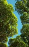 El follaje de sauces de debajo contra el cielo azul Foto de archivo libre de regalías