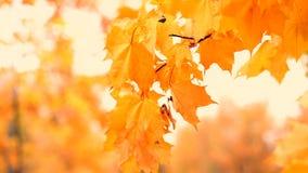 El follaje del otoño almacen de video