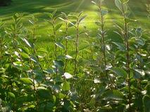 El follaje iluminado por el sol se apresura para recoger el calor pasado del sol Imagen de archivo libre de regalías