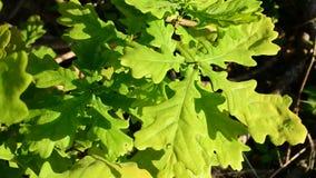 El follaje verde vibrante del roble inglés tiembla almacen de metraje de vídeo
