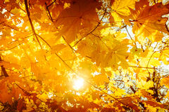 El fondo abstracto de la naturaleza del otoño con el árbol de arce se va Fotos de archivo