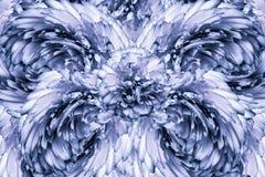 El fondo abstracto de pétalos de un clavo blanco-azul florece Fondo floral imagen de archivo libre de regalías