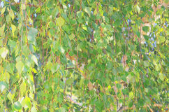 El fondo abstracto del follaje verde en abedul ramifica Imagen de archivo