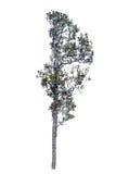 El fondo aislado árbol, árbol de madera del hierro es de hojas caducas aislado encendido Fotografía de archivo