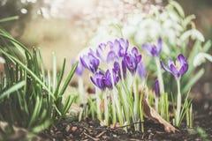 El fondo al aire libre de la naturaleza de la primavera bonita con las azafranes florece fotos de archivo libres de regalías