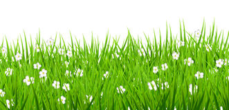 El fondo blanco florece la hierba verde de las margaritas Imagenes de archivo