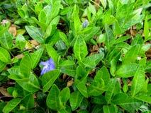 El fondo brillante de la primavera de troncos verdes con las hojas y el bígaro azul florece Imagenes de archivo