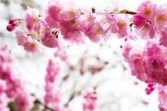 El fondo con la flor de cerezo rosada hermosa, Sakura florece Foto de archivo libre de regalías