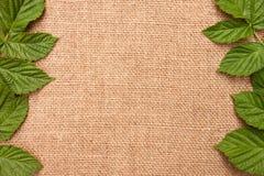 El fondo con las hojas de la frambuesa Imagen de archivo libre de regalías