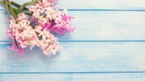 El fondo con los jacintos rosados frescos florece en el azul pintado Fotografía de archivo libre de regalías
