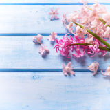 El fondo con los jacintos rosados frescos florece en el azul pintado Foto de archivo libre de regalías