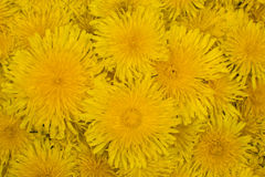 El fondo de dientes de león amarillos Imagen de archivo