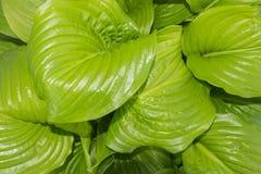 El fondo de hojas coriáceas grandes Fotografía de archivo libre de regalías