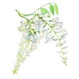 El fondo de la flor de la glicinia Ejemplo pintado a mano de la acuarela en el fondo blanco Imágenes de archivo libres de regalías
