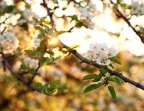 El fondo de la naturaleza, los árboles del jardín floreciente en puesta del sol se enciende Imagen de archivo