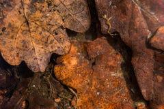 El fondo de las hojas de otoño putrefactas en agua es macro Imagenes de archivo