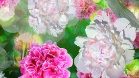 El fondo de Loopable con las flores rosadas y blancas del paeonia, se va y brilla