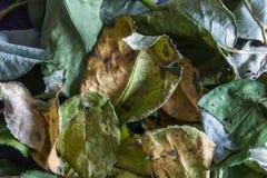 El fondo de marchitado subió las hojas Imágenes de archivo libres de regalías