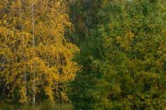 El fondo del amarillo y del verde se va en los árboles Imágenes de archivo libres de regalías