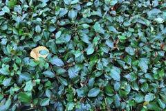 El fondo del arbusto Fotos de archivo
