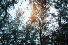 El fondo del bosque en el tiempo de mañana, reflexión de la luz del sol es brillante al top del árbol forestal fotografía de archivo libre de regalías