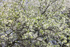 El fondo del flor de la primavera, primavera blanca hermosa florece Frescura, fragancia y dulzura fotos de archivo libres de regalías
