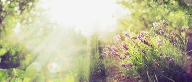 El fondo del jardín del verano con lavanda y Sun irradia, bandera para el sitio web Imagen de archivo