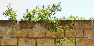 El fondo es un arbusto de flores en una cerca de piedra Fotos de archivo