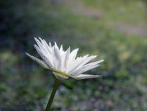 El fondo es un césped borroso, flores de Lotus florece en el agua, foco suave imagen de archivo libre de regalías