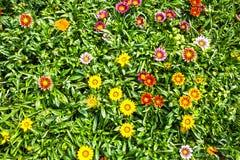 El fondo floral brillante, mucho Gazania hermoso florece imagen de archivo