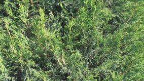 El fondo floral verde, arborvitae ramifica con las agujas frescas metrajes