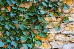 el fondo Gris-marrón, texturiza la albañilería de piedra con la hiedra Fotografía de archivo libre de regalías