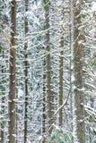 El fondo hermoso blanco, marrón y verde del invierno de las ramas y de los troncos del árbol del abeto, del pino o de la picea fotografía de archivo