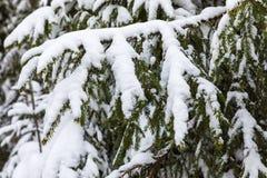 El fondo hermoso blanco y verde del invierno de las ramas del árbol del abeto o de la picea debajo de la nieve y del hoar fotos de archivo