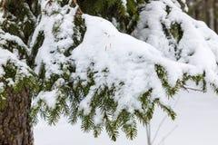 El fondo hermoso blanco y verde del invierno de las ramas del árbol del abeto o de la picea debajo de la nieve y del hoar imagen de archivo