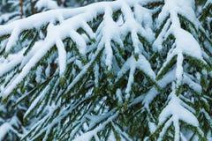 El fondo hermoso blanco y verde del invierno de las ramas del árbol del abeto o de la picea debajo de la nieve y del hoar fotografía de archivo libre de regalías