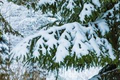El fondo hermoso blanco y verde del invierno de las ramas del árbol del abeto o de la picea debajo de la nieve y del hoar fotos de archivo libres de regalías