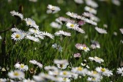 El fondo hermoso de la primavera con el campo de la margarita florece en jardín ecológico Fotografía de archivo
