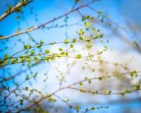 El fondo hermoso del abedul nuevo, fresco se va en la rama, cielo azul con las nubes blancas Hojas del verde del árbol de abedul  Fotos de archivo libres de regalías