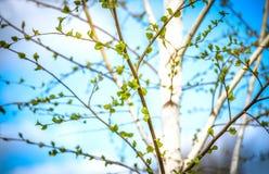 El fondo hermoso del abedul nuevo, fresco se va en la rama, cielo azul con las nubes blancas Hojas del verde del árbol de abedul  Imagenes de archivo