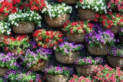 El fondo natural de petunias florece en diversos colores Foto de archivo libre de regalías