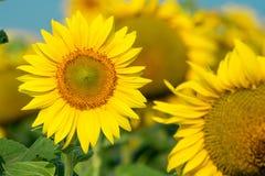 El fondo natural del girasol, girasol que florece, aceite de girasol mejora salud de la piel y promueve la regeneración de la cél Imágenes de archivo libres de regalías