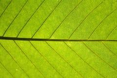 El fondo verde de la hoja vetea la planta de la selva del modelo Fotos de archivo libres de regalías