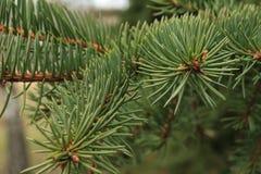 El fondo verde de las ramas de las patas comió con las agujas de punta de las garras foto de archivo