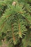 El fondo verde de las ramas de las patas comió con las agujas de punta de las garras fotografía de archivo