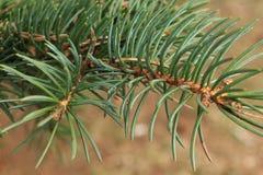 El fondo verde de las ramas de las patas comió con las agujas de punta de las garras imagen de archivo libre de regalías