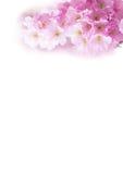 El fondo vertical con la flor de cerezo rosada hermosa, Sakura florece en blanco Fotografía de archivo